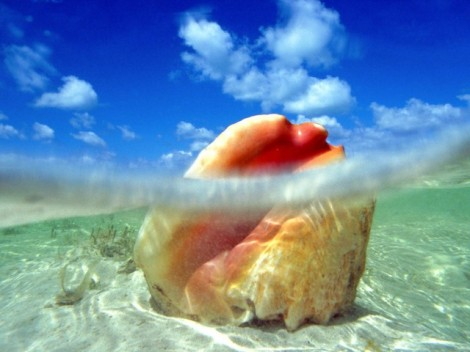 The waters around the Bahamas provide the perfect habitat for conch.