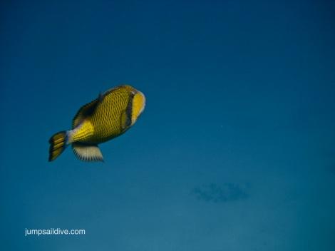 A lone tigger fish in the Red Sea