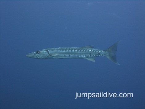 A mean looking barracuda stalks around the Edward Williams.