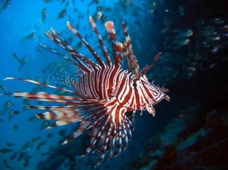 A lionfish my look beautiful but it should never be touched.