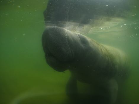 One of the manatees we encountered.