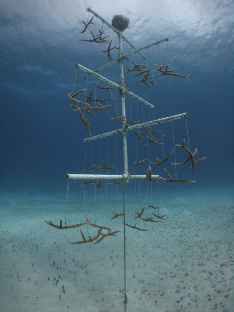 Staghorn Coral Tree Nursery at the James Bond Wrecks